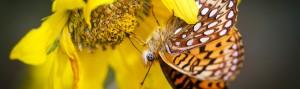 monarch on sunflower - alex pullen