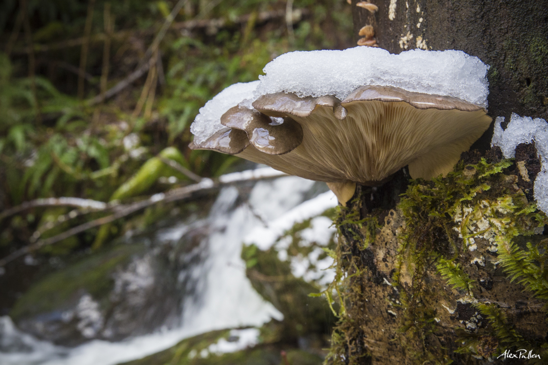 A mature Oyster mushroom covered in some of the seasons first snow.