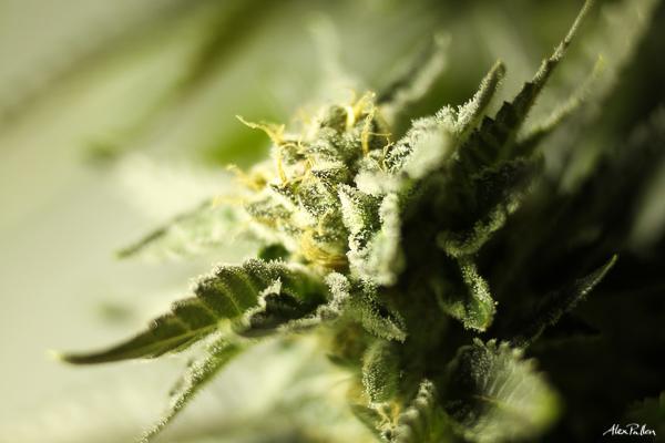 Cannabis Hemp Stock Photography